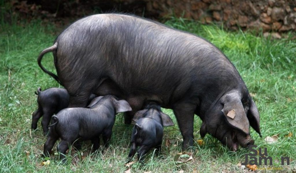 Cerdo negro mallorquín